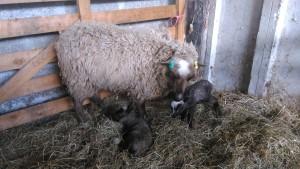 Brand new lambs!